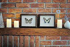 Obrázky - Idea leuconoe- motýľ v rámčeku - 11286372_