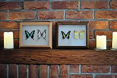 Obrázky - Graphium tyndareus/ Anteos menippe- motýle v rámčeku - 11286452_