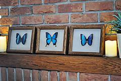 Obrázky - Morpho achilles- motýľ v rámčeku - 11286584_
