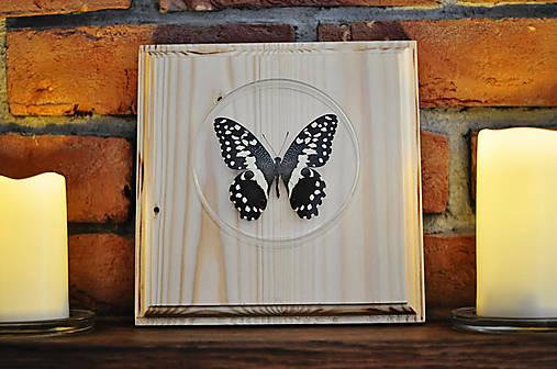 Papilio demodocus- motýľ na drevenej podložke