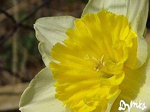 Obrazy - Narcis - 11301423_