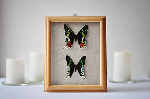 Urania ripheus/ Urania leilus - motýle v rámčeku