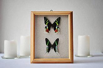 Obrázky - Urania ripheus/ Urania leilus - motýle v rámčeku - 11349363_