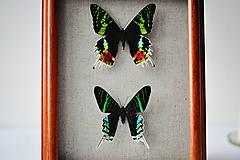 Obrázky - Urania ripheus/ Urania leilus- motýle v rámčeku - 11362056_