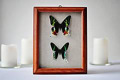 Obrázky - Urania ripheus/ Urania leilus- motýle v rámčeku - 11362062_
