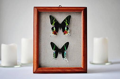 Urania ripheus/ Urania leilus- motýle v rámčeku