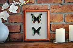 Obrázky - Urania ripheus/ Urania leilus- motýle v rámčeku - 11366388_