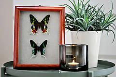 Obrázky - Urania ripheus/ Urania leilus- motýle v rámčeku - 11371602_