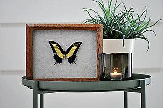 Obrázky - Papilio androgeus- motýľ v rámčeku - 11371578_