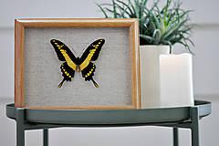 Obrázky - Papilio thoas- motýľ v rámčeku - 11374675_