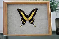 Obrázky - Papilio thoas- motýľ v rámčeku - 11374676_
