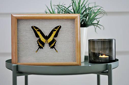 Papilio thoas- motýľ v rámčeku