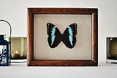 Obrázky - Morpho achilles-motýľ v rámčeku - 11399625_