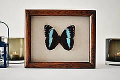 Obrázky - Morpho achilles-motýľ v rámčeku - 11399629_