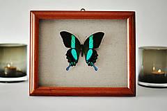 Obrázky - Papilio blumei- motýľ v rámčeku - 11404973_