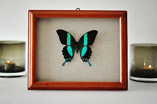Papilio blumei- motýľ v rámčeku