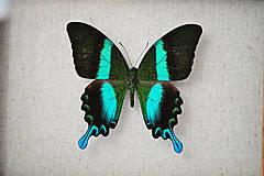 Obrázky - Papilio blumei- motýľ v rámčeku - 11406328_