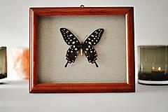 Papilio antenor- motýľ v rámčeku