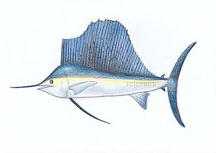 Kresby - Ostrá ryba - 11422263_