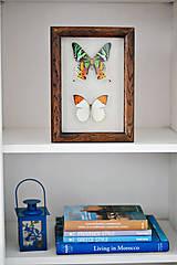 Obrázky - Urania ripheus/ Hebomoia glaucippe- motýle v rámčeku - 11463235_