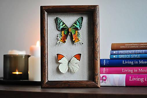 Urania ripheus/ Hebomoia glaucippe- motýle v rámčeku