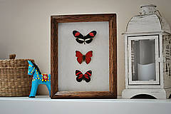 Obrázky - Oranžové motýle v rámčeku - 11479346_