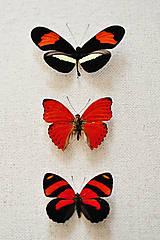 Obrázky - Oranžové motýle v rámčeku - 11479347_