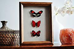 Obrázky - Oranžové motýle v rámčeku - 11479359_