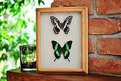 Obrázky - Papilio demodocus/ Papilio palinurus- motýle v rámčeku - 11621954_