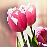 Fotografie - ružové tulipány - 11668708_