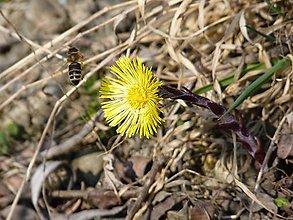 Fotografie - Podbeľ liečivý a včela medonosná - 11704409_