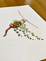 Grafika - Starček bez dozoru - Print | Botanická ilustrácia - 11766823_