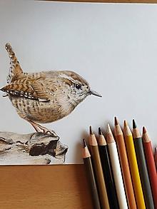 Kresby - Kresba: Oriešok hnedý - 11775573_