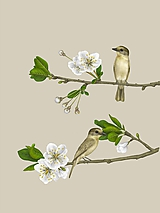 Obrazy - ROSE-THROATED BECARD - BEIGE - 11799627_