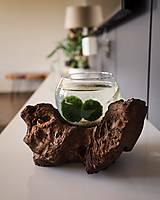 Dekorácie - Riasogule v akváriu na dreve - 11931011_