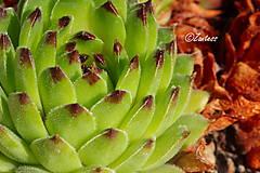 Fotografie - Skalná ruža (fotografia) - 11947588_