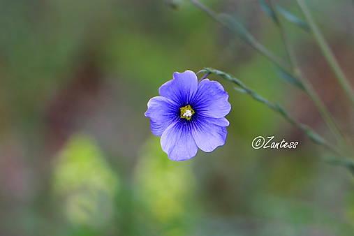 Kvet ľanu (fotografia)