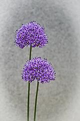 Fotografie - Guľové súkvetie - 11972872_