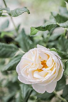 Fotografie - Ruža II. - 12088684_