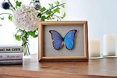 Obrázky - Morpho didius- motýľ v rámčeku - 12197545_