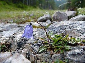 Fotografie - Zvonček maličký Campanula cochleariifolia v Alpách, fotografia, nástenná dekorácia do domu - 12233621_