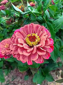 Fotografie - záhradný kvet - 12244522_