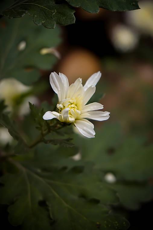 Novembrová chryzantéma