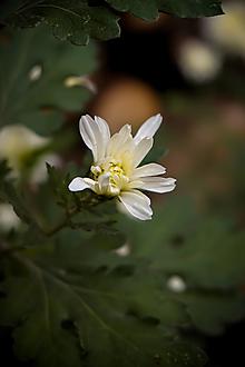 Fotografie - Novembrová chryzantéma - 12557600_