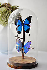 Dekorácie - Papilio ulysses/ Morpho aega- motýle v sklenenej kupole - 12586430_
