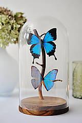 Dekorácie - Papilio ulysses/ Morpho aega- motýle v sklenenej kupole - 12586433_