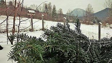 Suroviny - vetvičky - jedľa biela (Abies alba) - 12723323_