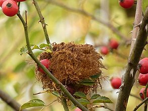 Fotografie - Malé vtáčie hniezdočko z machu medzi šípkami, jesenná dekorácia, fotografia - 12812198_
