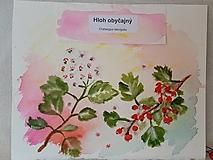 Kresby - Akvarel Hloh obyčajný - 12908581_