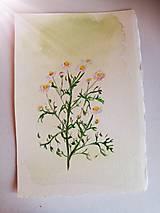 Kresby - Akvarel - Harmanček - 12912195_